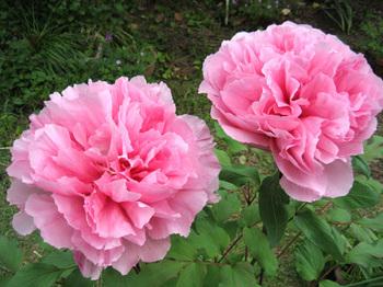 IMG_0028.JPG-庭の牡丹2009.04.17.JPG